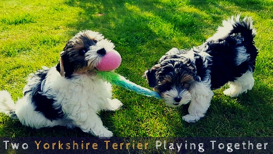 Two Yorkshire Terrier Playing Together