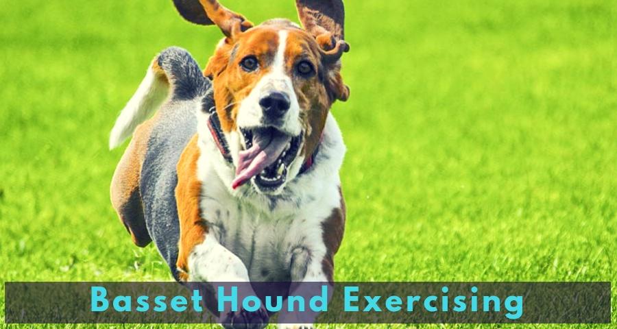 Basset Hound Exercising