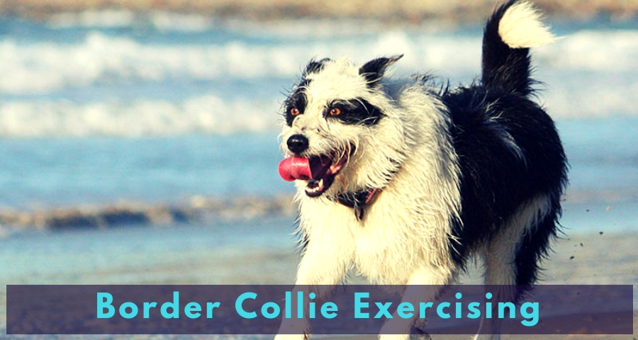 Border Collie Exercising