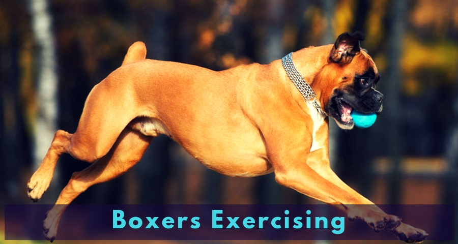 Boxers Exercising