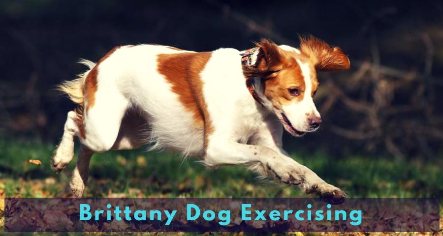Brittany Dog Exercising