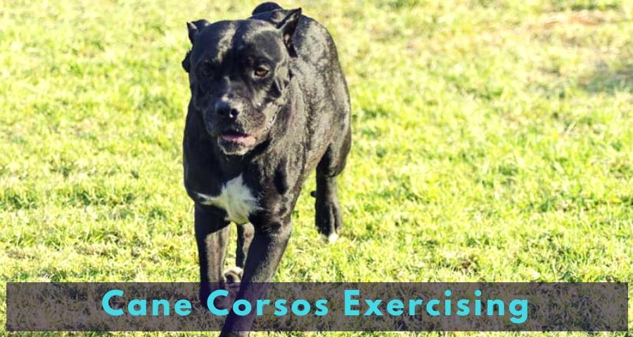 Cane Corsos Exercising