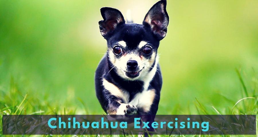 Chihuahua Exercising