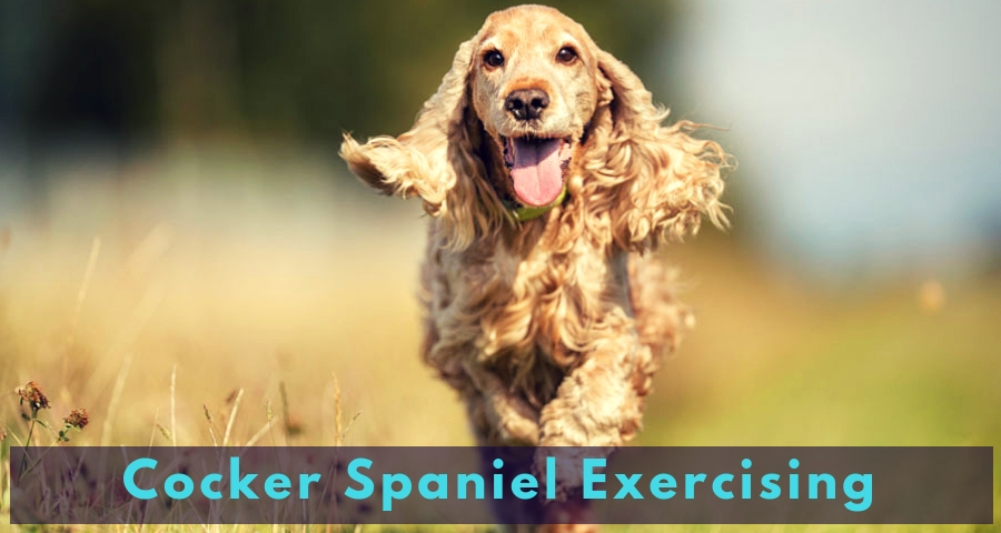Cocker Spaniel Exercising