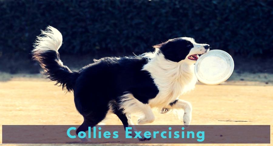 Collies Exercising