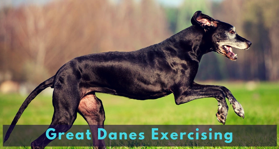 Great Danes Exercising