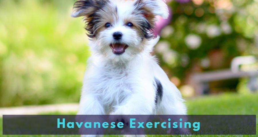 Havanese Exercising