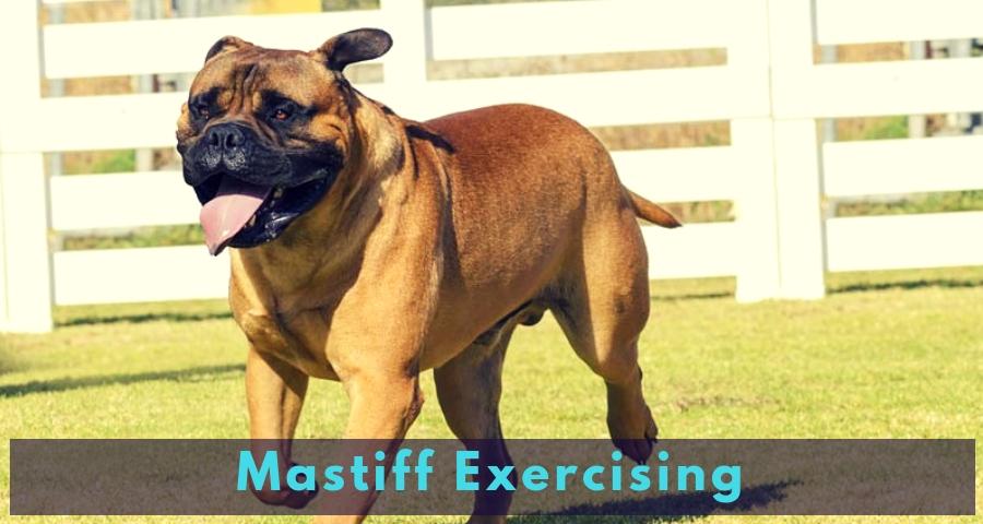 Mastiff Exercising