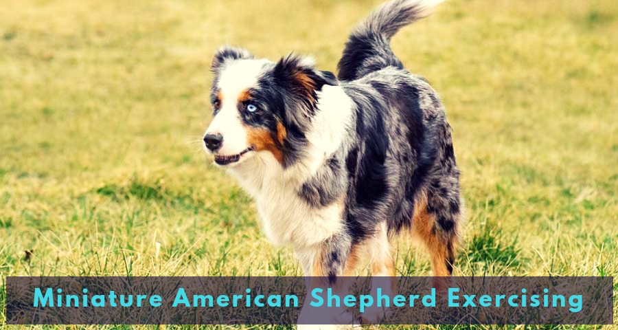 Miniature American Shepherd Exercising