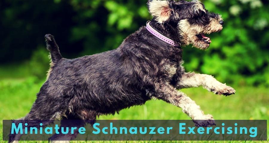 Miniature Schnauzer Exercising