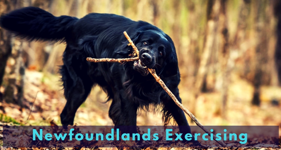 Newfoundlands Exercising