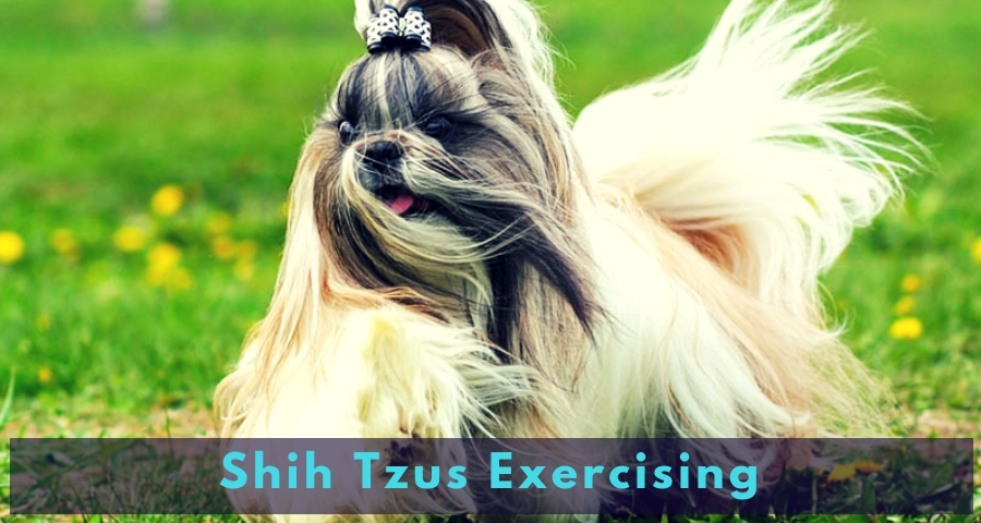 Shih Tzus Exercising