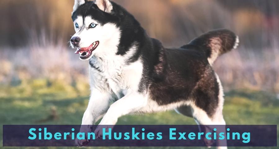 Siberian Huskies Exercising