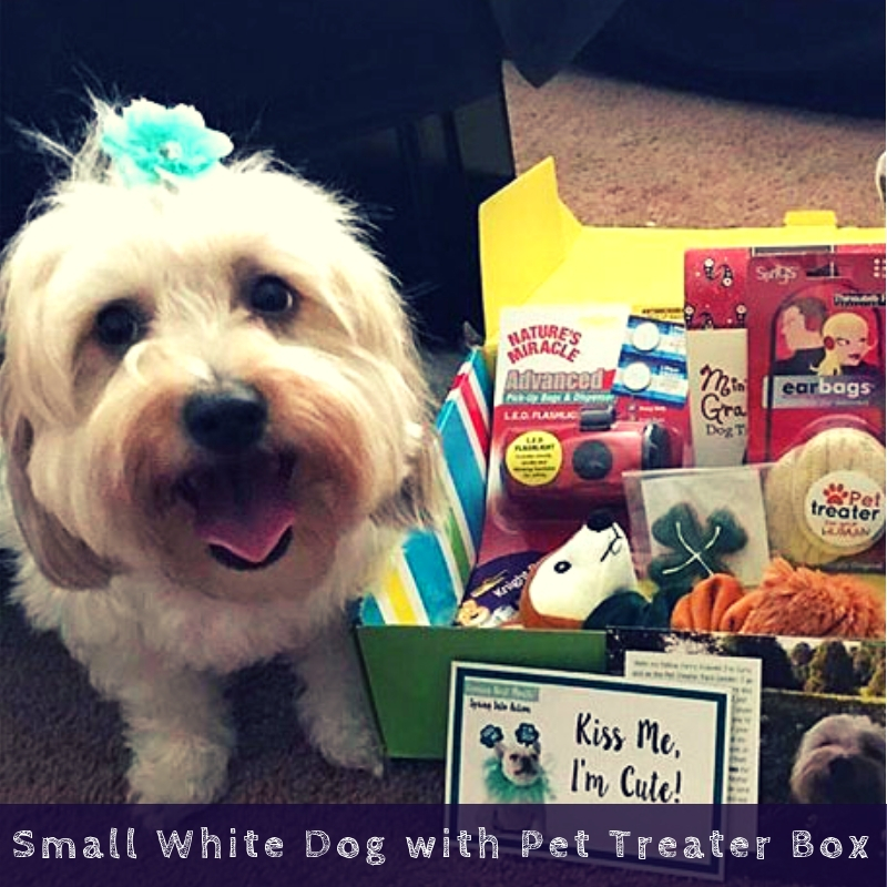 Small White Dog with Pet Treater Box