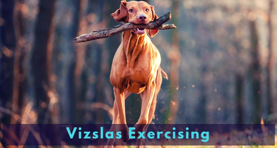 Vizslas Exercising