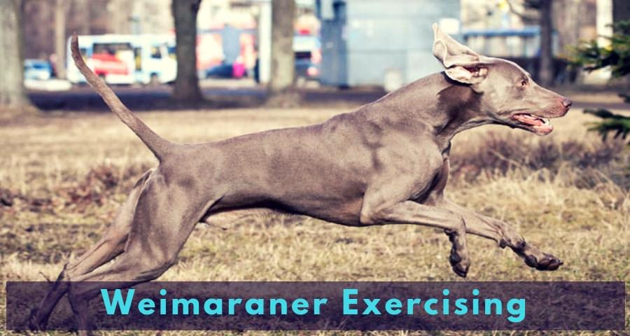 Weimaraner Exercising