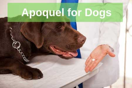 The Secrets about Apoquel for Dogs