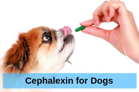 Everything You Need to Know about Cephalexin for Dogs