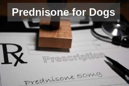 Is Prednisone Safe For Dogs? Medical Guide