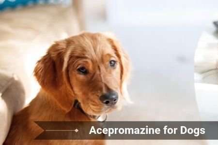 Acepromazine for Dogs