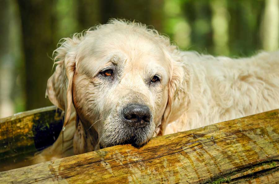 Causes of Diabetes in Dogs