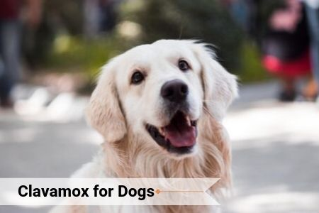 Clavamox for Dogs