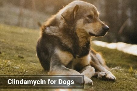 Clindamycin for Dogs