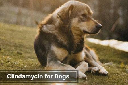 Clindamycin for Dogs
