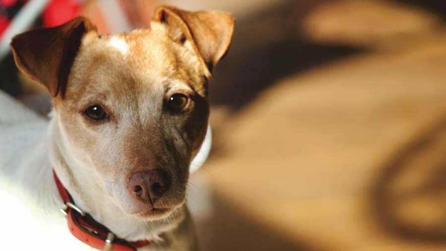Dosage of Baytril for Dogs