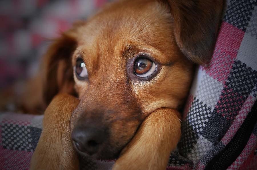 Symptoms of Hookworms in Dogs
