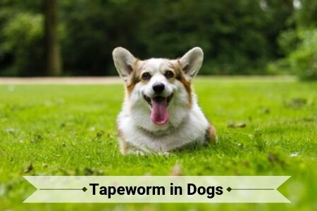 Tapeworm in Dogs