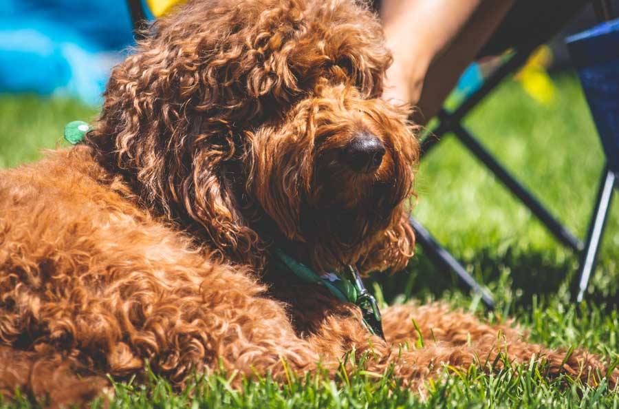 What Can Cause Severe (Acute) and Chronic Dog Vomiting