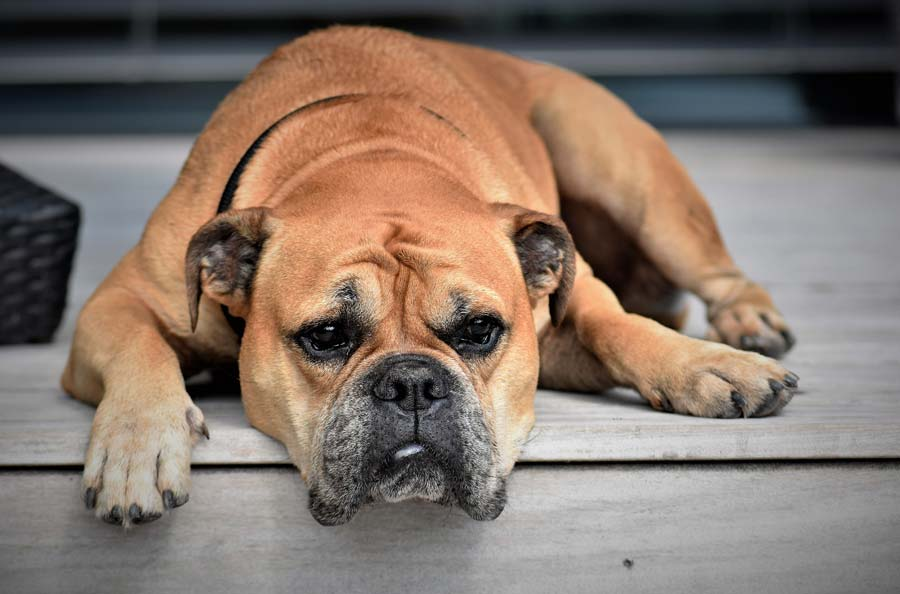What Causes Heartworm Disease