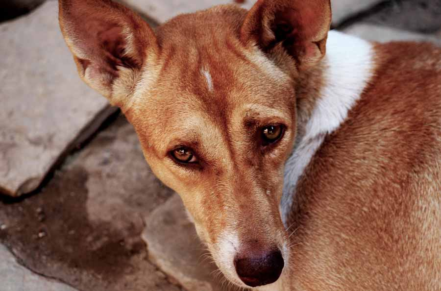 What are the Side Effects of Phenobarbital in Dogs